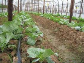 蔬菜微喷 (1)